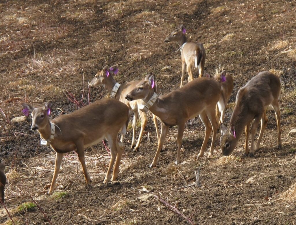 A portion of the 38-animal white tail deer herd awaiting reintroduction into the wild on the 5130-acre Eastern Band of Cherokee Indians natural preserve in western North Carolina. (Photo credit: Eastern Band of Cherokee Indians)
