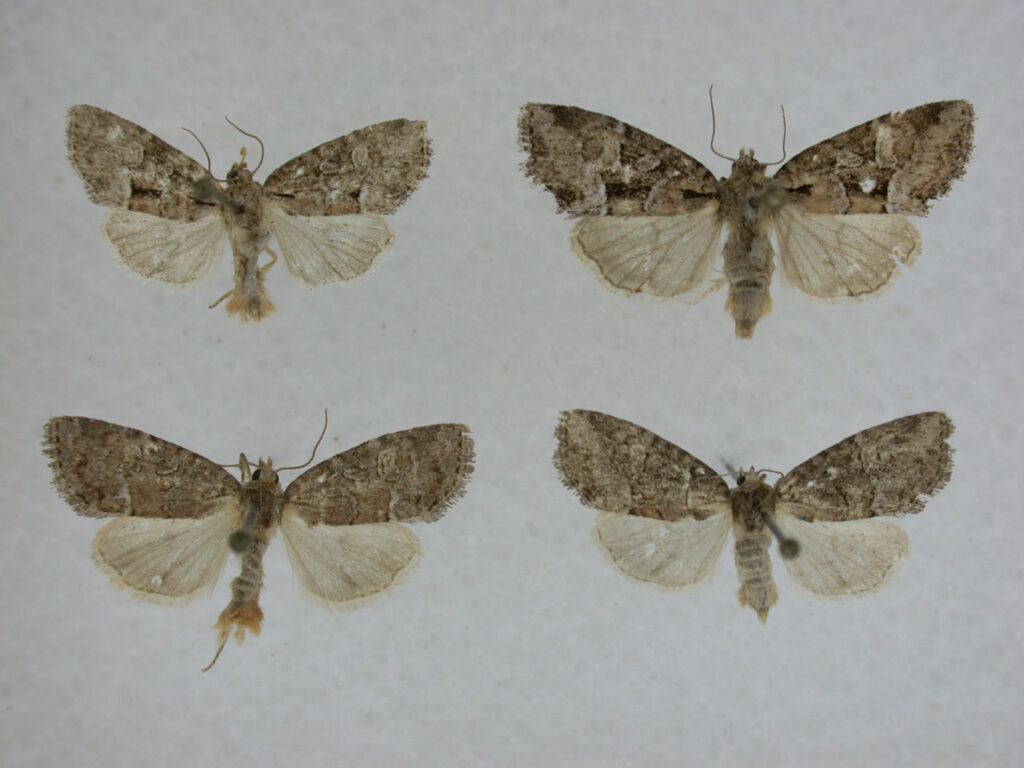 Submitted Photo: Cherokeea attakullakulla, a newly discovered moth, was found in the southern Appalachian Mountains and named in honor of the Cherokee people. (Photo courtesy of Cherokee Nation)