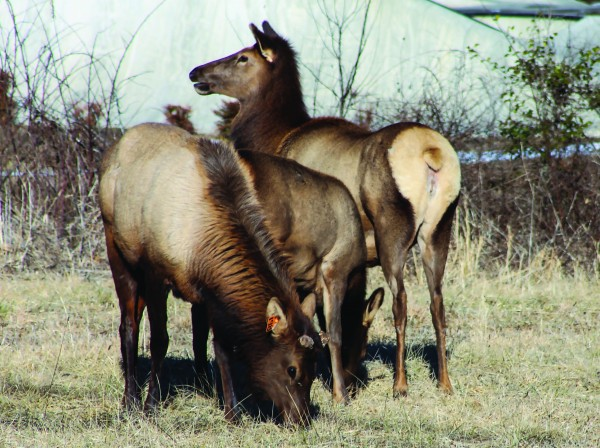 A group of elk is shown near the Cherokee Skate Park in the Yellowhill Community.  (SCOTT MCKIE B.P./One Feather)
