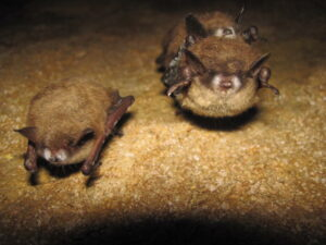 Tri-colored bat with WNS_2013